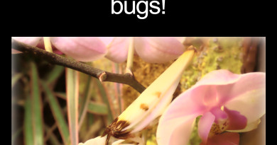Orchid Mantis disguises itself as a flower to trick bugs thumbnail