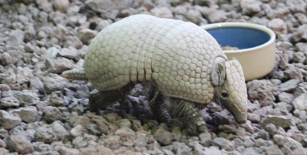 A man in Texas tried to shoot an endangered armadillo, but the bullet ricocheted and hit him in the face thumbnail