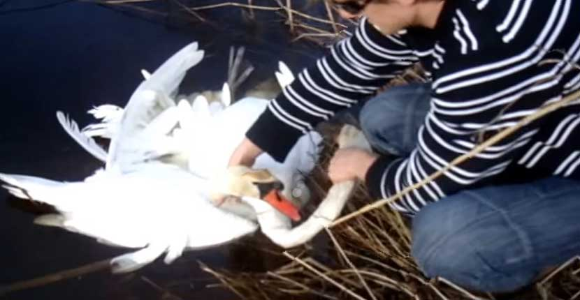Faith-In-Humanity-Restored-As-Tangled-Swans-Reached-Humans-For-Help-Thumb
