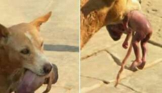 Indian-Stray-dog-rescuing-a-new-born-girl-child-from-street-dustbin-04