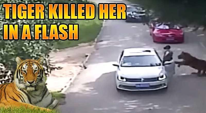 shocking-movement-tiger-killed-chinese-woman