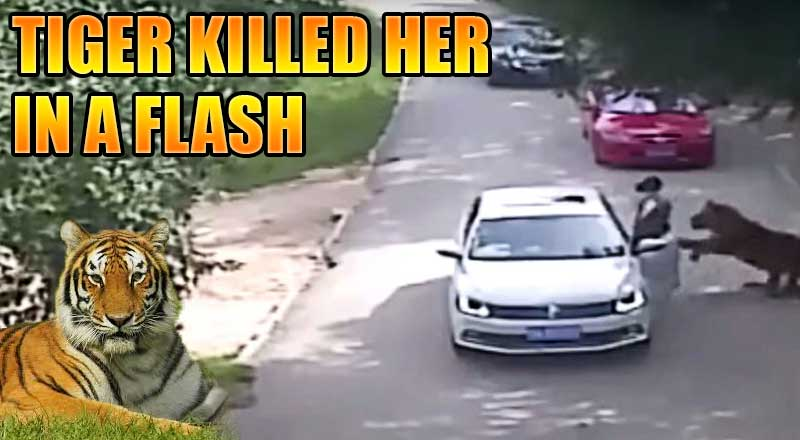 Shocking Movement Tiger Killed Chinese Woman